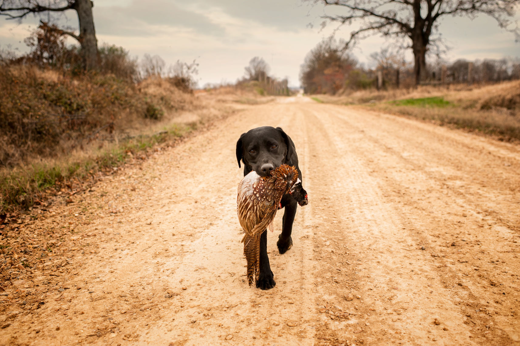 Benna walks back with the pheasant in her mouth