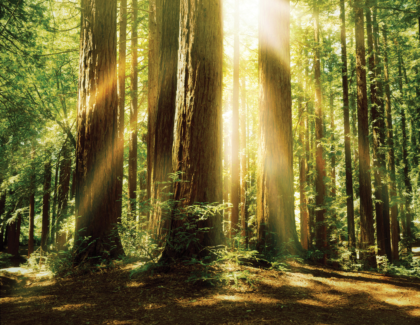 Sun streams through the  Redwoods, Redwood National Park.