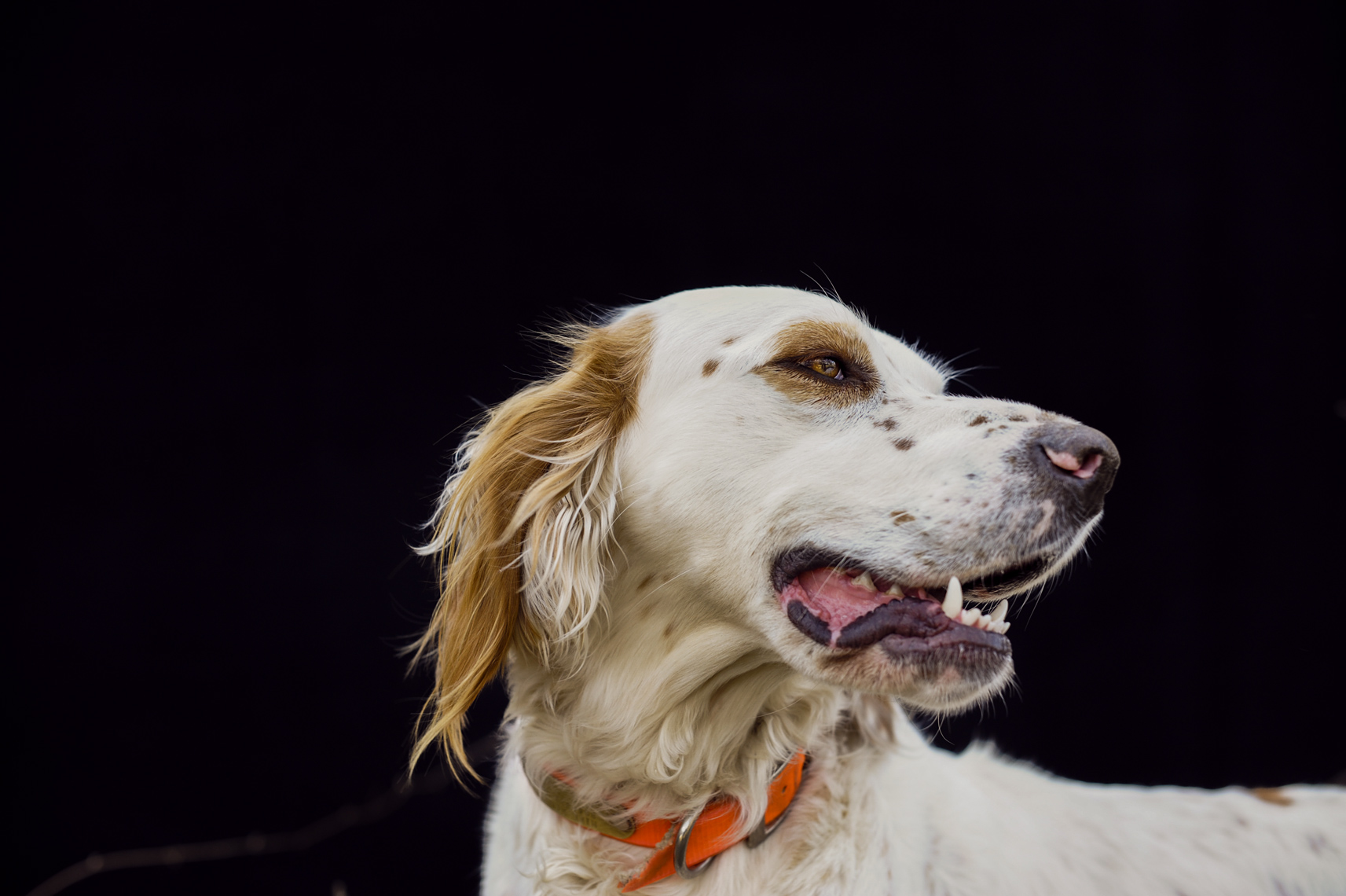 ©Robb Scharetg - Bird Dog portrait