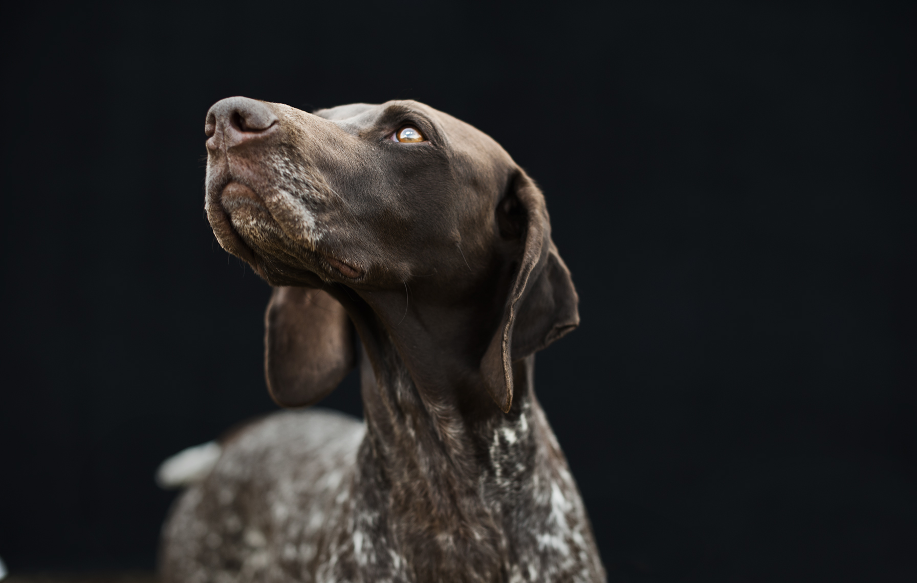 ©Robb Scharetg - German Shorthaired Pointer - portrait .  DC photographer , SF photograper